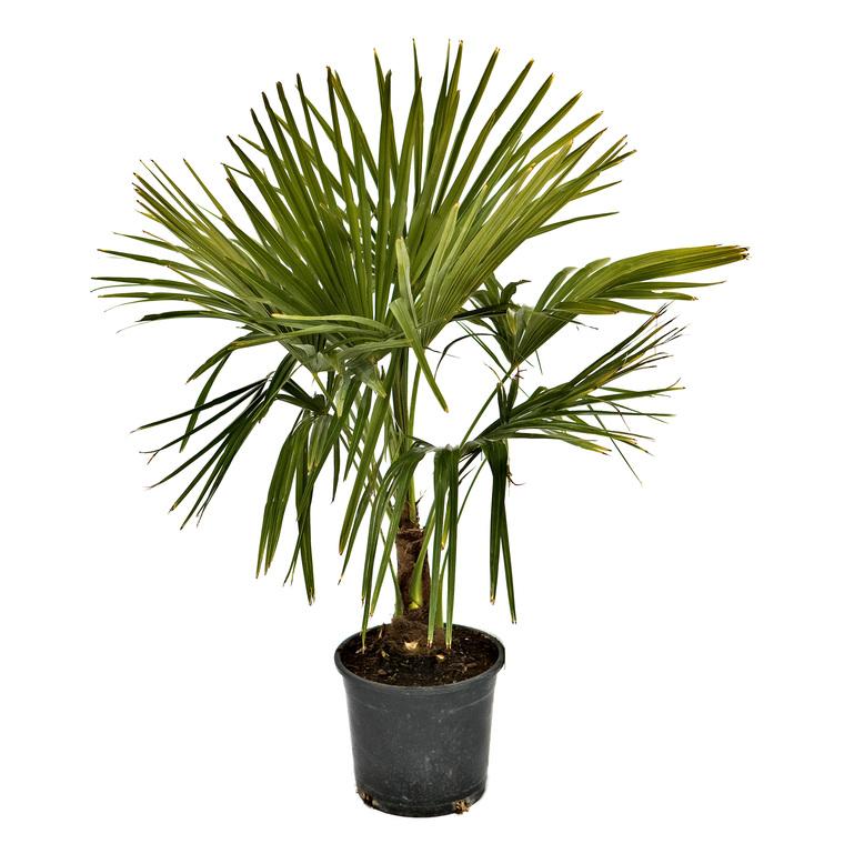 palmier trachycarpus excelsa plantes pour bacs balcon terrasse botanic. Black Bedroom Furniture Sets. Home Design Ideas