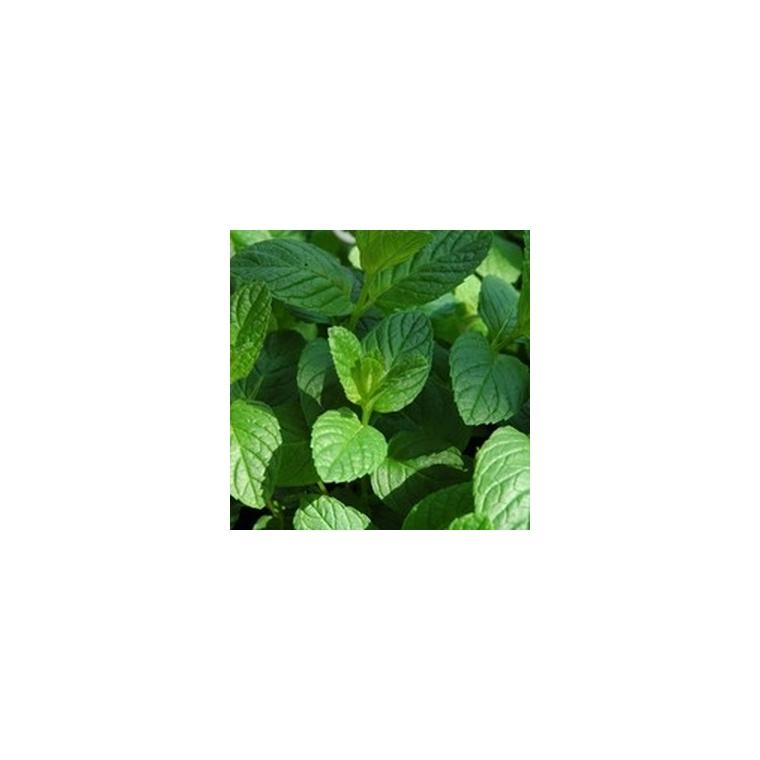 menthe verte le pot compostable de 10 5 cm plantes pour le potager nos produits botanic. Black Bedroom Furniture Sets. Home Design Ideas