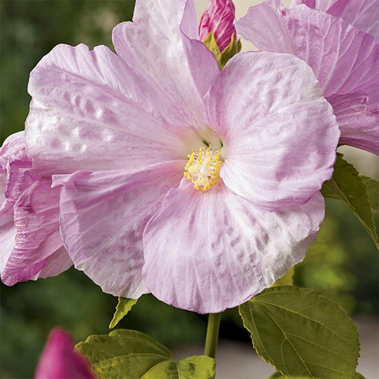 Hibiscus palustris pot de 3 litres : Plantes de bassin BOTANIC ...