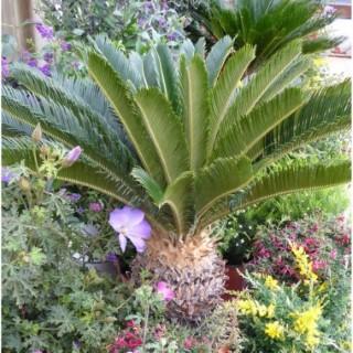 Cycas Revoluta ou faux palmier vert en pot de 1 L 400100