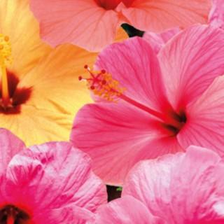 Hibiscus. Le pot de Ø 17 cm 400339