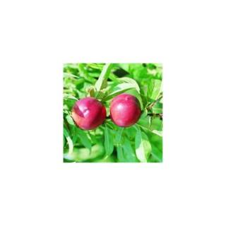 Nectarinier 1/2 tige 18/20 en conteneur de 35 L 400391