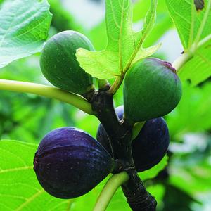 Figuier Ronde de Bordeaux Bio botanic® 400414