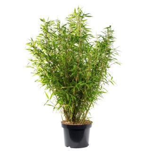 Bambou Fargesia Angustissima. Le pot de 24 litres 400544