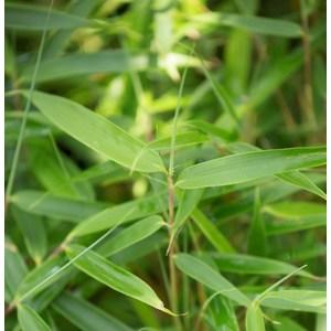 Bambou Fargesia Robusta Campbell. Le pot de 12 litres 400654