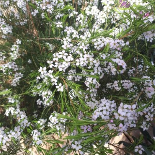 Diosma Hirsuta Pink Fountain rose XL en pot de 10 L 400975