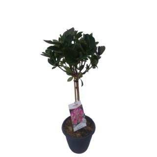 Hortensia à grandes fleurs version XL en pot de 10 litres 401244
