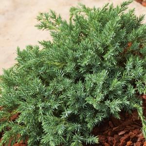 Genévrier Blue Carpet - pot 2 L 401326