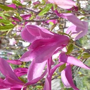 Magnolia Caduc Soulangeana – Pot de 4L 401441
