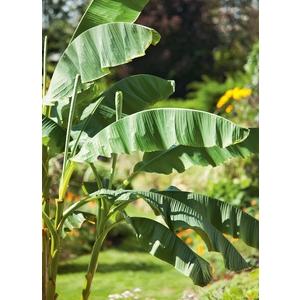 Bananier Musa Bajoo - pot 10 L 401487