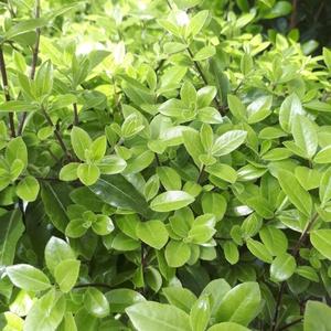 Pittosporum Tenuifolium Golf Ball XL en pot de 16 L 401679