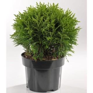Thuya Occidentalis Danica (Thuya du Canada) en pot de 2 L vert 401923