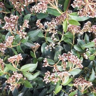 Viburnum Tinus ou Laurier-tin XL 90/100 cm en jardinière de 15 L 401954
