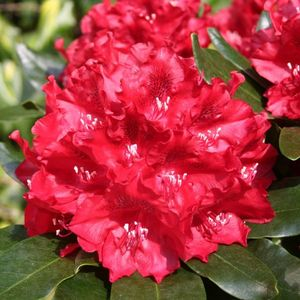 Rhododendron Cherry Kiss rouge 402237