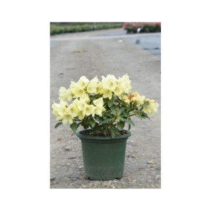 Rhododendron Gomer Waterer blanc 402240