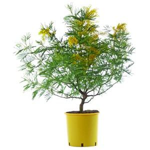 Mimosa (ACACIA DEALBATA) Le pot de 5 litres 402355