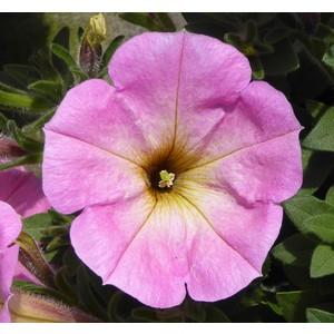 Pétunia érigé rose. Le pack de 6 plants 402560