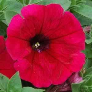 Pétunia retombant rouge. Le pack de 6 plants 402563