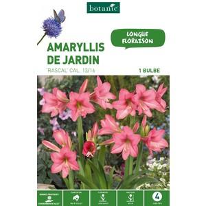Amaryllis rascal rose 1 bulbe de calibre 13 à 16 – 4 m 402761