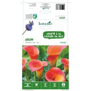 Arum - Orange  - 1 bulbe 402770
