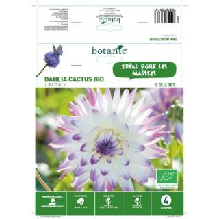 Dahlia cactus Jura BIO - Blanc ose - 2 bulbes 402773