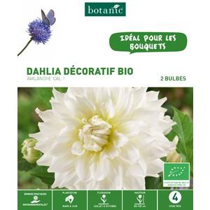 Dahlia décoratif avalanche bio 2 bulbes de calibre 1 – 4 m 402775