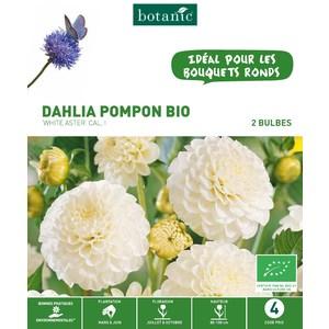 Dahlia pompon white aster bio 2 bulbes de calibre 1 – 4 m 402776