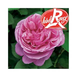 Rosier Line Renaud® Label Rouge en pot de 5L 402799