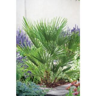 Palmier - pot 15 L 402995