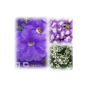 Mélange estival bleu et blanc. Le pack de 6 plants 403009