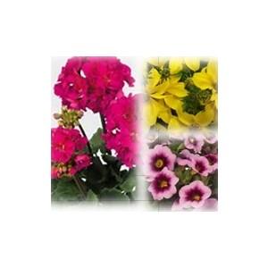 Mélange estival fuchsia et jaune. Le pack de 6 plants 403010