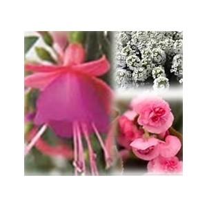 Mélange estival rose et blanc. Le pack de 6 plants 403013