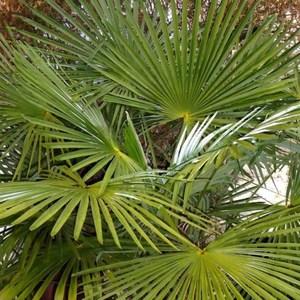 Trachycarpus (Palmier chanvre) 125/150 en pot de 70 L vert 403149