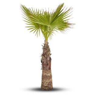 Palmier Washingtonia 80/100 cm en pot de 80 L 403154