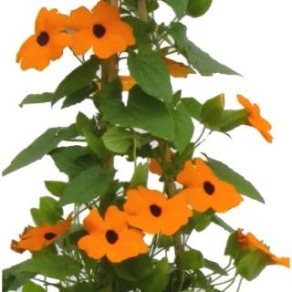 Plantes annuelles grimpantes. Pot de 2 litres Tippi 404536