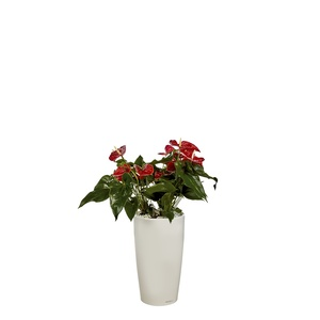 Anthurium et son pot Rondo premium Ø 32 blanc 405281