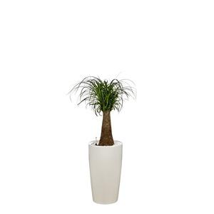 Beaucarnea tronc droit et son pot Rondo premium Ø 32 blanc 405289