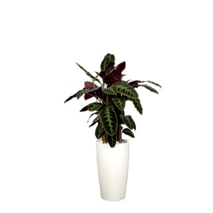 Calathea warscewiczii et son pot Rondo premium Ø 32 blanc 405291