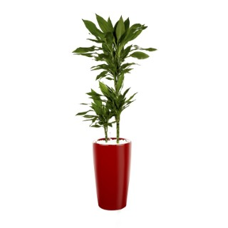 Dracaena fragrans vert 3 tiges et son pot Rondo premium Ø 32 rouge 405296