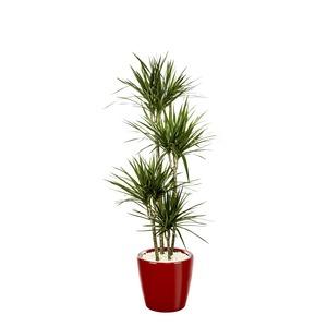 Dracaena marginata 4 tiges et son pot Classico premium Ø 35 rouge 405301