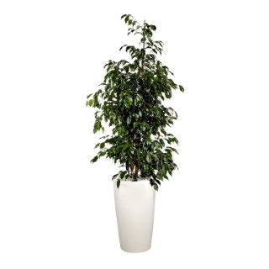 Ficus benjamina et son pot Rondo premium Ø 32 blanc 405304