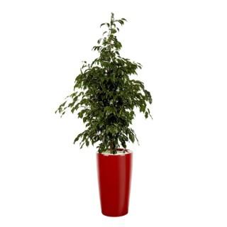 Ficus benjamina et son pot Rondo premium Ø 32 rouge 405305