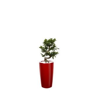 Ficus ginseng S-Type et son pot Rondo premium Ø 32 rouge 405314
