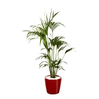 Kentia et son pot Classico premium Ø 35 rouge 405317