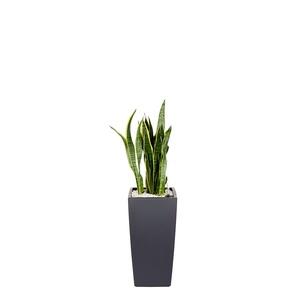 Sansevieria laurentii et son pot Cubico color Ø 30 gris 405328