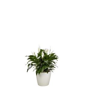 Spathiphyllum et son pot Classico premium Ø 35 blanc 405330