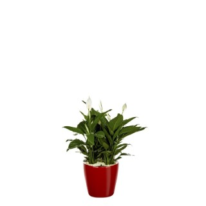 Spathiphyllum et son pot Classico premium Ø 35 rouge 405331