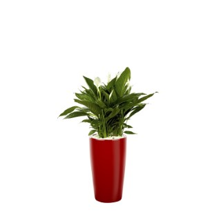 Spathiphyllum x3 et son pot Rondo premium 32 rouge 405333