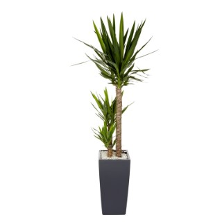 Yucca 3 tiges et son pot Cubico color Ø 30 gris 405334