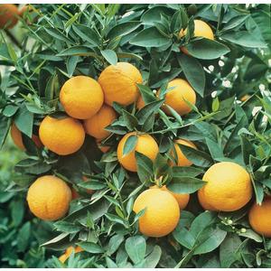 Oranger Amer bio. Le pot de 3 litres 405444